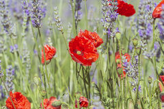 Vintage poppy flowers in lavender field Stock Images