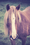 Vintage portrait of a chestnut horse with long foretop Royalty Free Stock Photos