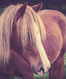Vintage portrait of a chestnut horse with long foretop Stock Image