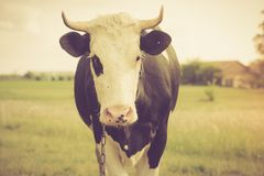 Vintage portrait of cow on pasture Stock Photography