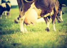 Vintage portrait of cow on pasture Stock Image