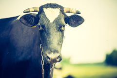 Vintage portrait of cow on pasture Royalty Free Stock Photo