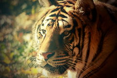 Vintage portrait of a tiger Royalty Free Stock Photography