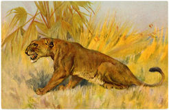 Vintage Postcard From the Early 1900s. Lioness vintage postcard circa 1900 Royalty Free Stock Photos