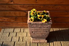 Vintage pot with flowers, viola tricolor, under the rays of the morning spring sun stock photos