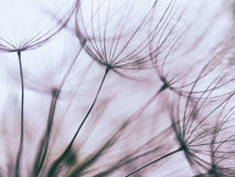 Vintage Purple abstract dandelion flower background. Extreme closeup with soft focus, beautiful nature details Royalty Free Stock Photo