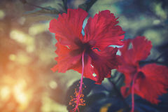 Free Vintage Red Hibiscus Flower With Sunlight, Royalty Free Stock Photo - 80133865