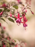 Vintage red purple Fuchsia flower Stock Photo