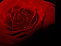 Vintage red rose flower shadow dark macro photo Stock Photos