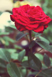 Vintage red rose. In garden Royalty Free Stock Images