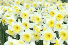 Vintage retouch of white yellow daffodils. fullframe. natural ba. Ckground Royalty Free Stock Photos