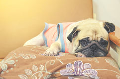 Vintage retro color style with sleeping cute pug dog. Vintage retro yellow color style with sleeping cute pug dog Stock Photos