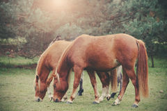 Vintage retro filtered picture of grazing horses Stock Photography