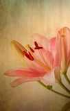 Vintage retro style pink Lilies Royalty Free Stock Photo