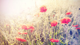 Vintage retro style poppy flowers background, shallow depth of f Stock Image
