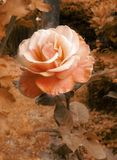 Vintage romantic rose Royalty Free Stock Photography