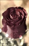 Vintage Rosa Imagens de Stock