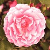 Vintage Rosa Imagens de Stock Royalty Free