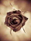 Vintage Rosa Fotografia de Stock Royalty Free