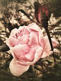 Vintage rose. Pink rose in vintage style Royalty Free Stock Images