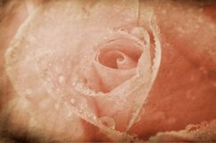 Vintage rose Stock Photography