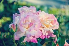 Vintage rose background on summer Stock Photo