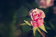 Vintage rose Royalty Free Stock Photo