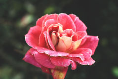 Vintage rose. In a garden Royalty Free Stock Photo