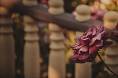 Vintage rose in the garden. Autumn mood. Muted tones. Vintage rose in the garden. On the background of a light-brown fence. Autumn mood. Muted tones royalty free stock images