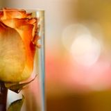 Vintage rose in a glass bottle. Orange rose in a glass bottle on a blurred background with a delicious bokeh. This is a typical postcard photo stock images