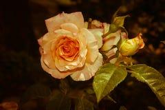 Vintage rose Royalty Free Stock Photo