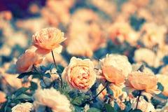 Vintage rose plantation Royalty Free Stock Photos