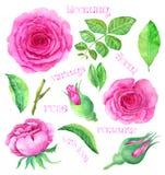 Vintage rose set isolated Stock Image