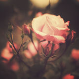 Vintage Roses Stock Photography