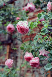 Vintage roses against a brick wall. As a design element of the garden stock photos