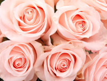 Vintage roses background Royalty Free Stock Images
