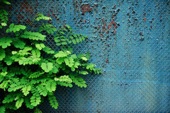 Vintage rustic wall, fence and leaves of acacia Royalty Free Stock Images