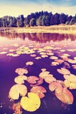 Vintage saturated picture of water lilies. Vintage saturated picture of water lilies in a lake royalty free stock photo