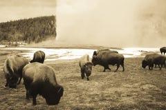 Vintage sepia bison grazing next to Old Faithful Geyser, Yellows. Vintage bison or American buffalo grazing next to steaming Old Faithful Geyser in Yellowstone stock photos