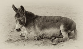 Vintage sepia toned image of a very old donkey. Lying in the sand Stock Photography