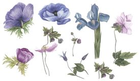 Vintage set of flowers: blue anemones, iris and pink anemones. Watercolor painting. Botanical illustration royalty free illustration