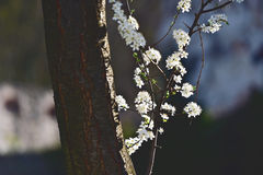 Vintage shot with blooming cherry flowers Royalty Free Stock Photography