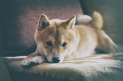 Vintage Siba inu Dog. Lying on the sofa Stock Image