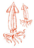 Vintage sketch drawing of red squid Stock Photos