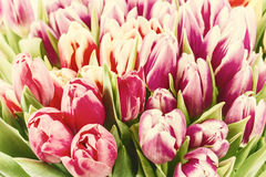 Vintage Soft Background with Tulip Stock Photos