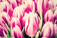 Vintage Soft Background with Tulip Stock Images
