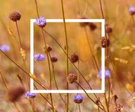 Vintage soft toned autumn field composition devils-bit scabious with white picture frame. Copy space. Nature background. Greeting. Card template stock photo