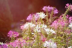 Spider flower. Vintage Spiny spider flower and sunlight summer Stock Photography