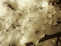 Vintage Spring Blossom Royalty Free Stock Photography