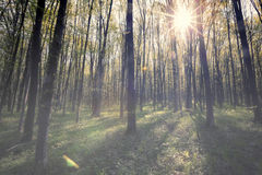 Vintage spring forest. Trees. nature green wood sunlight backgrounds. sky Stock Image